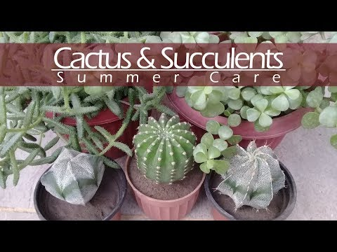 Cacti and Succulents Summer Care | How to Care for Cacti and Succulents in Summers