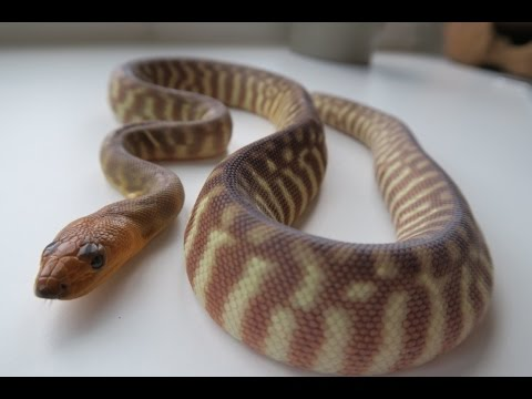 How To Convince Your Parents To Let You Get A Snake!