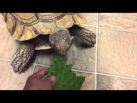 Sulcata tortoise eating a prickly pear cactus pad