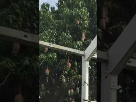 Squirrel Eating Mango Off Of Tree