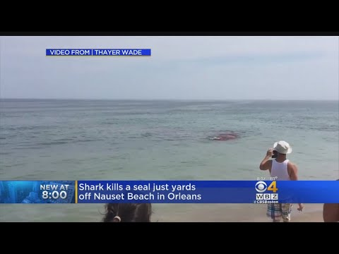 Shark Attacks Seal Near Surfers Off Cape Cod Beach