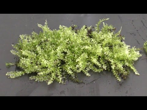 Land Moss for Aquarium