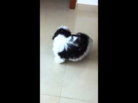Dog trying to bite his tail :p