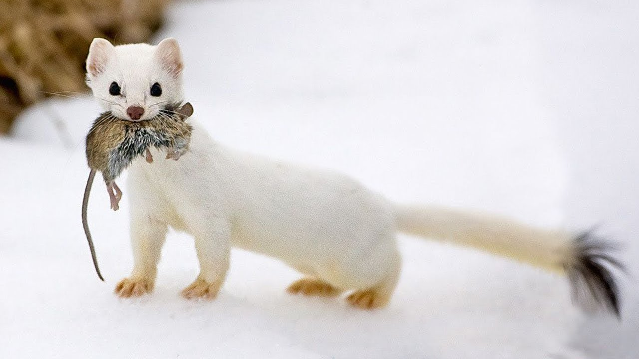 The Stoat - a fearless acrobat and rabbit hunter! Interesting facts about Stoats