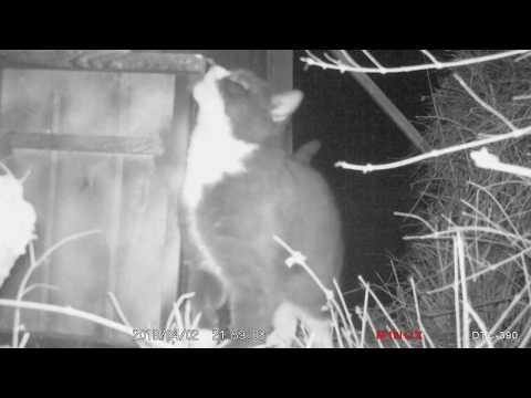 Feral cats investigating non active trap