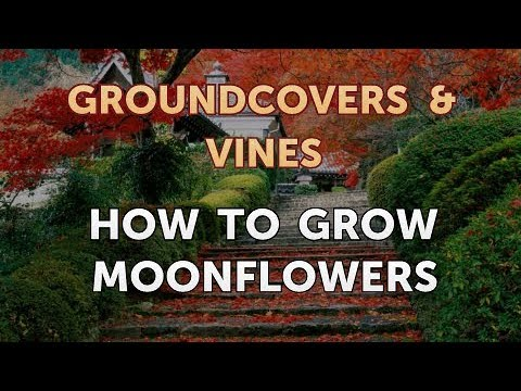 How to Grow Moonflowers