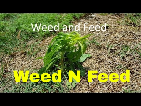 Weed and Feed for Lawns - Important Info for Results