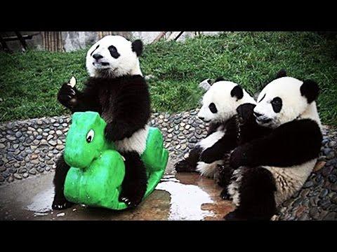 Playing Pandas 🐼 Baby Panda [Funny Pets]