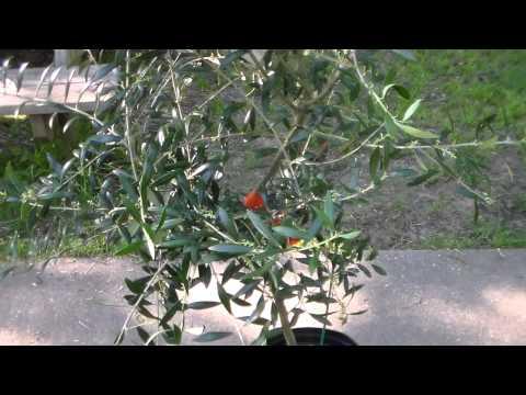 Olive Tree at Wal-Mart! (SCORE)