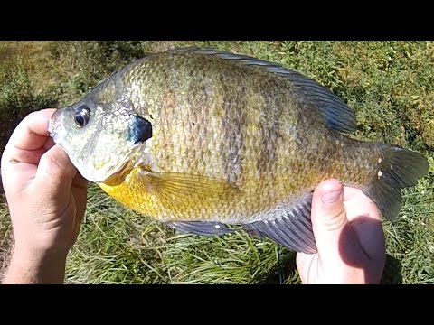 Bait Fishing #129 - Superworm Fishing for Pumpkinseed, Hybrid Sunfish, and Big Bluegill