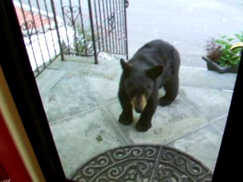 Baby Black Bear Cub Stops By For Breakfast In Vernon NJ