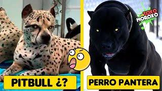 7 Razas de Perro Mas Temibles Creadas  por el Hombre