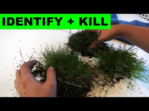 How to identify Poa trivialis and Poa Annua and how to kill them