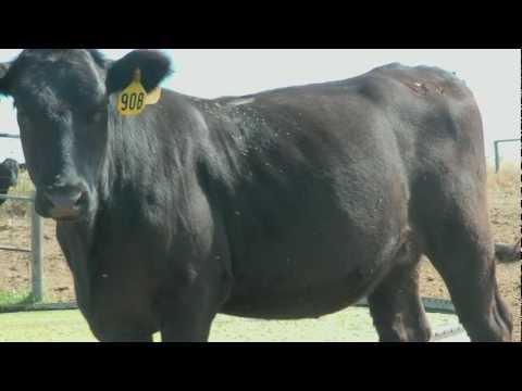 Flies on Cattle - Market Journal - May 25, 2012