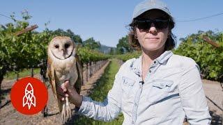 Barn Owls: The Secret Saviors of Napa Valley's Vineyards
