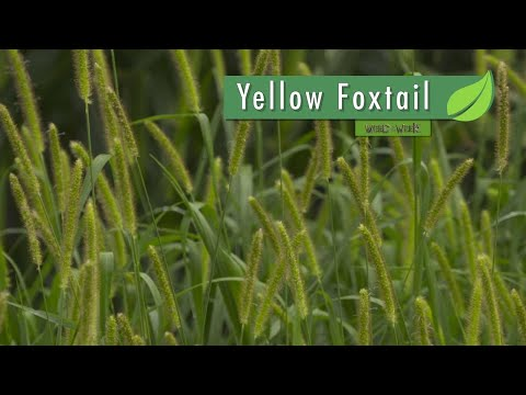 Weed of the Week #1044 Yellow Foxtail (Air Date 4-8-18)
