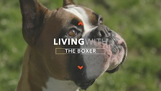 Download ALL ABOUT LIVING WITH BOXER DOGS Video