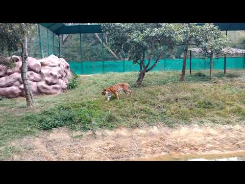 Tiger roaming in open at bannarghatta zoo Bangalore