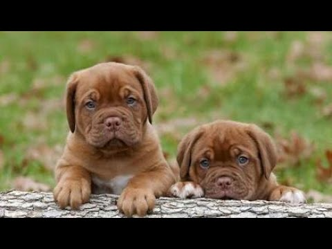 Dogue de Bordeaux ( french Mastiff) vs Rottweiler | FIGHT 2018 |