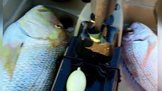 Η αρματωσιες της ξερας,τα δολωματα της τσιπούρας(μύδι,αχινος,καβουρι) Kayak fishing