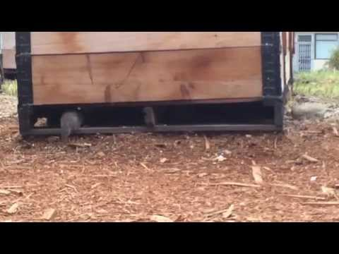 Rat surge in a Vancouver community garden