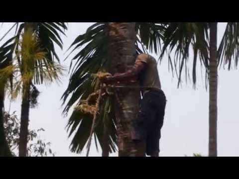 Cutting down a Coconut Tree