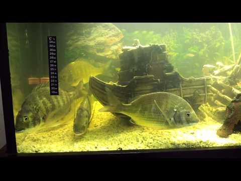 Silver bream fish tank