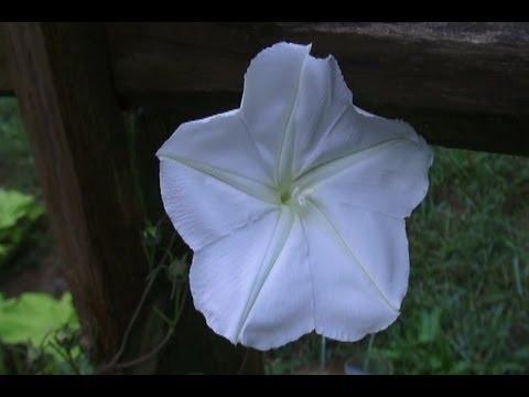Night Blooming Moon Flower