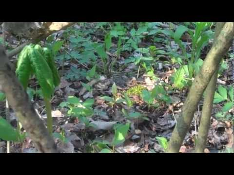 Morel Mushrooms are up !! 2012