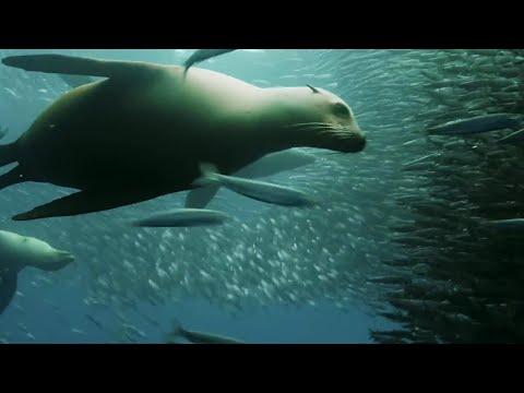 Sardine Feeding Frenzy: Whale, Shark, Dolphin and Sea Lions   The Hunt   BBC Earth