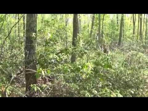 Harvesting Sugar Maple