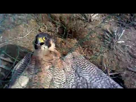 Traping hawk Peregrine falcon  (Chinese)湖南大拍网
