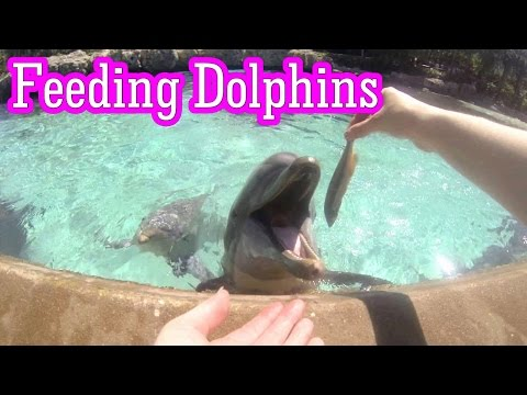 Feeding The Dolphins at SeaWorld Orlando. Dolphin talks. GoPro Dolphin Cove