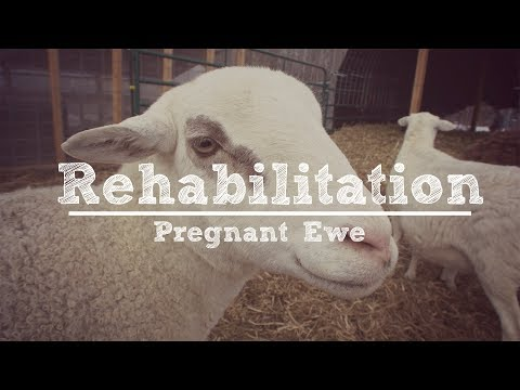 Rehabilitating Our Skinny Pregnant Ewe