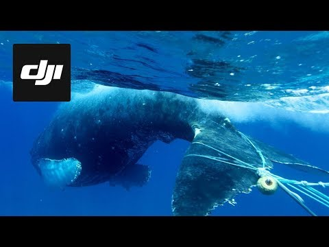 DJI Stories - Using Drones to Save Entangled Whales