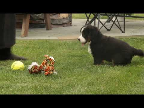 Bernese Mountain Dog Puppy For Sale Kathryn Lapp