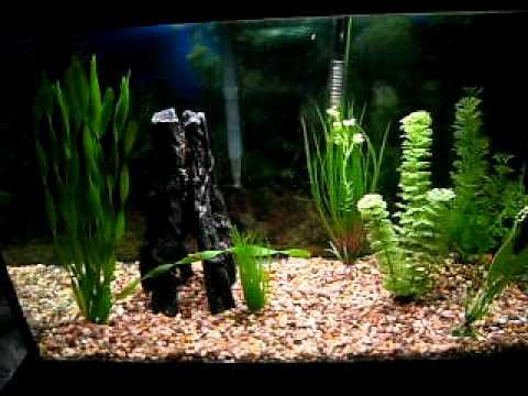 My 20 gallon angelfish tank