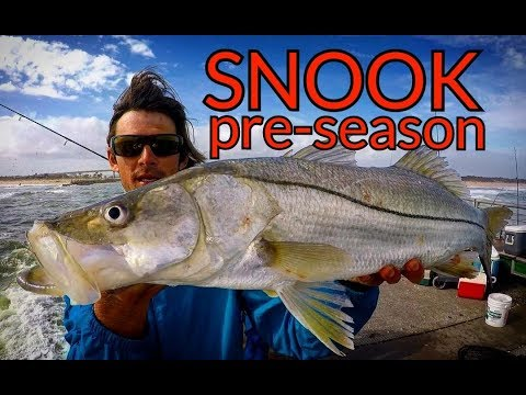 Snook and Goliath Grouper on Pinfish