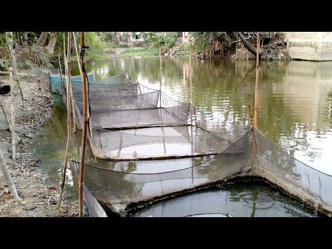 COLOUR FISH CULTIVATION IN VILLAGE POND HELP OF  MOSQUITO NET (INDIA)