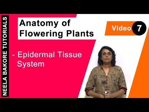Anatomy of Flowering Plants - Epidermal Tissue System
