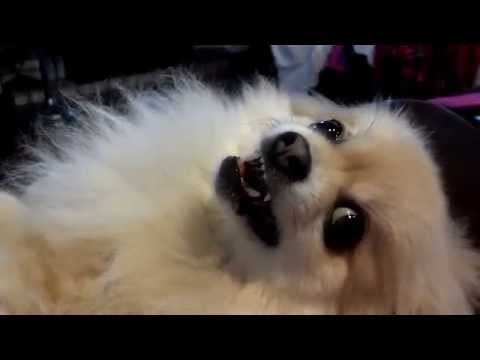 Angry Pomeranian bites, happy Pom smiles