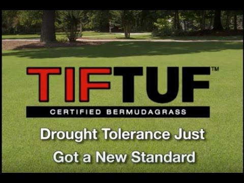 Drought Tolerant Grass - TIFTUF Bermudagrass - Turfgrass Drought Tolerance Just Got a New Standard