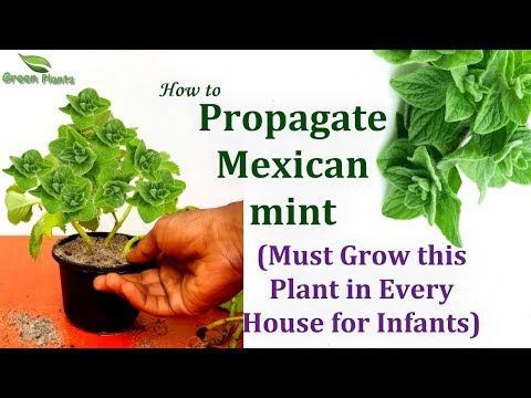How to Propagate Mexican Mint/Oregano | This Herbal Must Grow in Every House//GREEN PLANTS