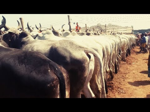 Xxx Mp4 Top 10 Cow। The Line For The Sale Of Indian Big Big Cow 3gp Sex