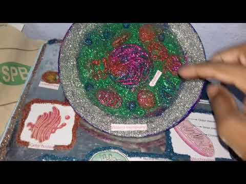 The animal cell model with clay