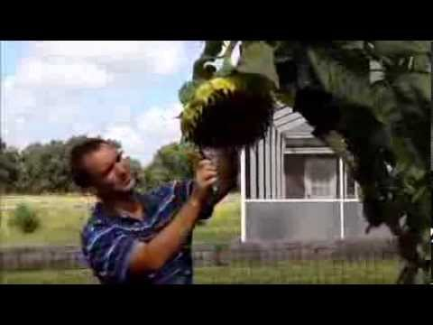 How we harvested our sunflower seeds