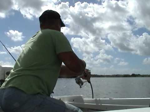 Shark capture, Logan river QLD