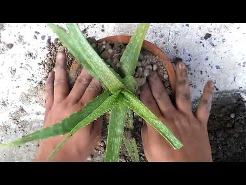 How to grow Aloe Vera in small container