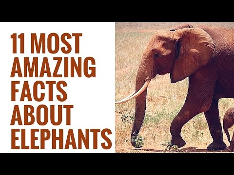Interesting Facts About Elephants | 11 Amazing Elephant facts | Elephant Facts for Kids