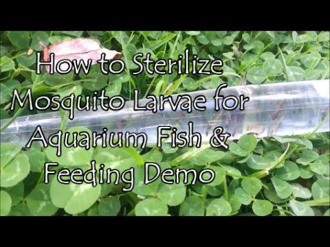 How to Sterilize Mosquito Larvae for Aquarium Fish & Feeding Demo